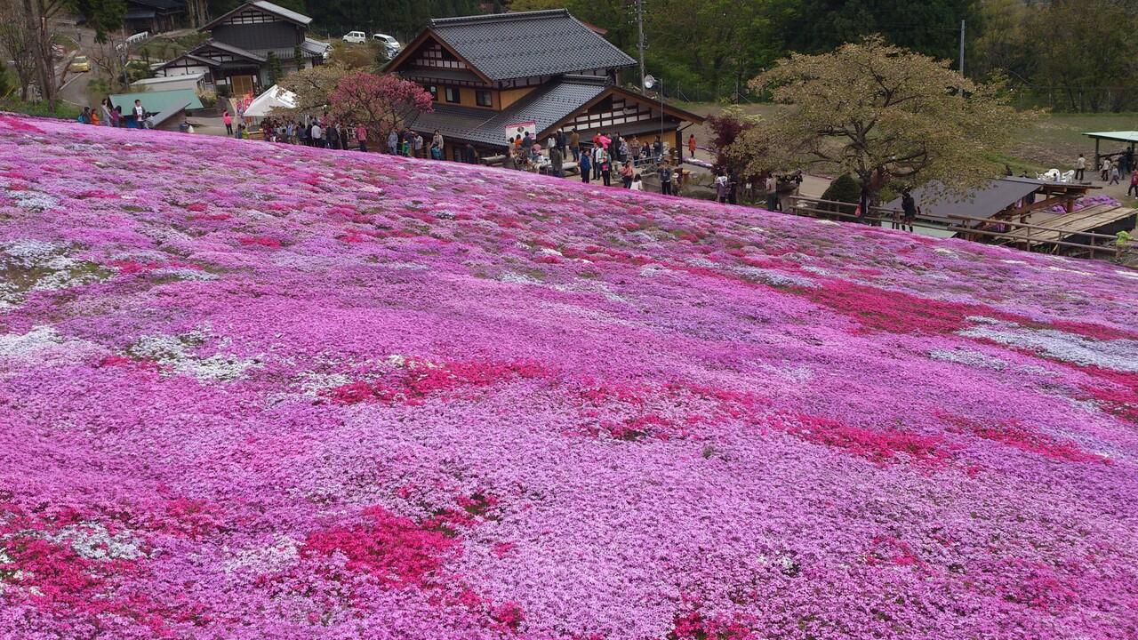國田さん家の芝桜